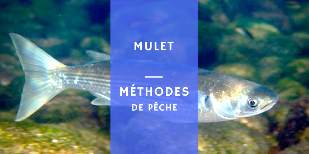 muget mulet poisson mer Mugil cephalus